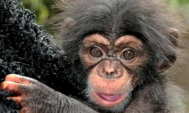 Chimpanzees: Autonomous, but irresponsible.
