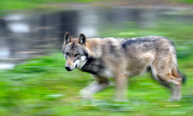 A European grey wolf (Canis lupus lupus).