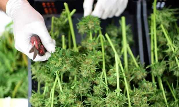 Victoria and Queensland announce medicinal cannabis trials