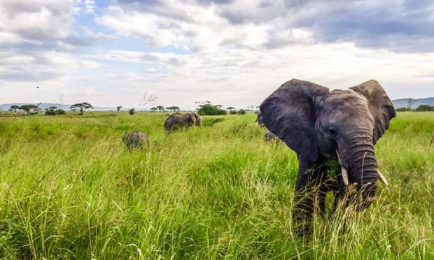 Elephant losses have been attributed to poaching, but African nations are at odds over how best to protect the animals. Photograph: PR