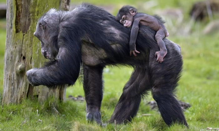 Chimps granted legal person hood