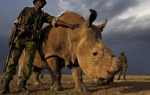 The last male northern white rhino in the world at the Ol Pejeta Conservancy in Kenya.