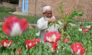 An Afghan farmer harvests in an opium poppy field in Jalalabad, Afghanistan on 27 March 2015. Afghanistan is listed as world's largest opium producer.