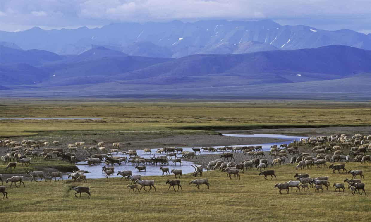 Porcupine caribou cross the Turner river in the Arctic national wildlife refuge during summer. Photograph: Rex/Shutterstock