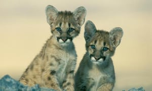Western Cougar cubs. Their Eastern Cougar cousins have not been sighted since 1938 according to a US Fish and Wildlife review