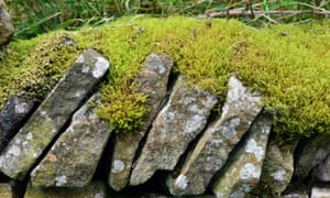 A dry stone wall, capped with mats of moss, in a lane near Glossop.