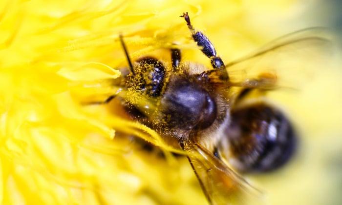 A honeybee gathering pollen from a flower