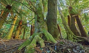 World heritage forest in Tasmania.