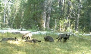 A wolf pack, captured on a trail camera near Mount Shasta in Siskiyou County, California.