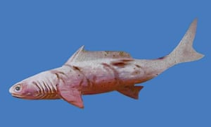 Artist rendition of a Devonian Shark. For journal article on shark fossil found in the Kimberley in Western Australia.