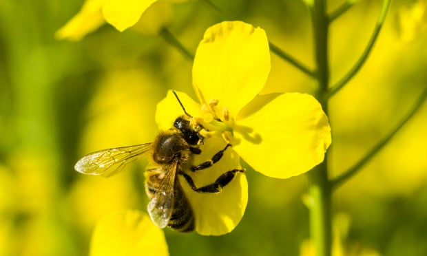 A Carniolan honey bee (Apis mellifera carnica) is collecting nectar at a yellow rapeseed blossom. Bees and other vital food crop pollinators have been declining for decades. Photograph: Frank Bienewald/LightRocket/Getty Images