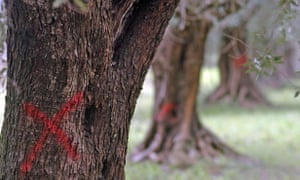 Red crosses painted on olive trees that need to be cut down to contain 'olive ebola'