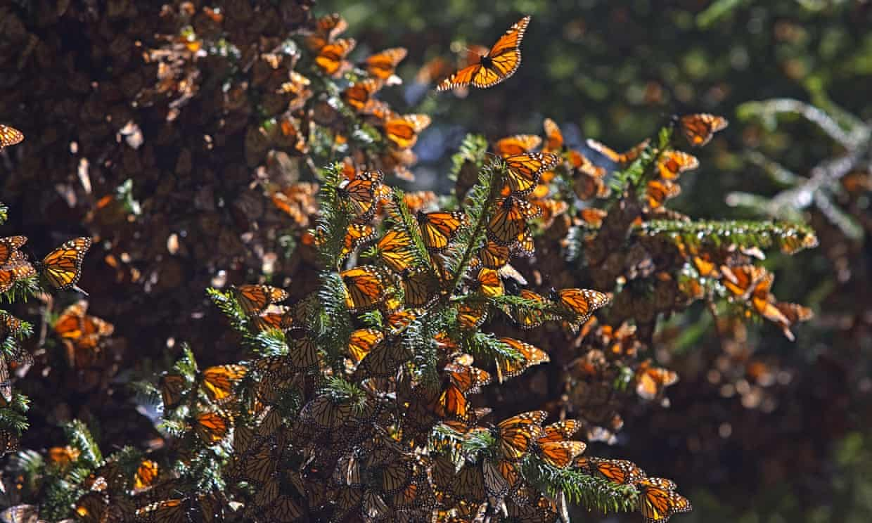 The butterflies' population covered only 2.1 hectares (5.2 acres) in 2020, compared to 2.8 hectares (6.9 acres) the previous year. Photograph: Luis Acosta/AFP via Getty Images