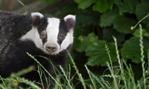 Badgers are lured from their setts or into cages and shot.