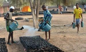 Great Green Wall  : Workers water the Widu tree nursery in Senegal Louga region