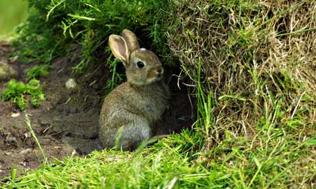 Country Diary Archive : Young rabbit ready to escape in a tunnel