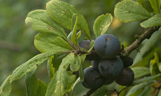to damsons – a tart fruit that makes excellent jams and tarts ...