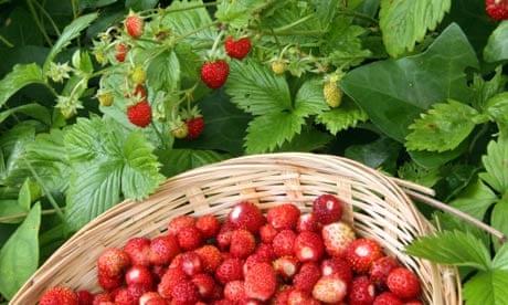 Wild Strawberry Vine Wild strawberries