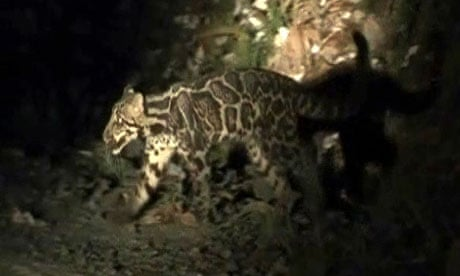 A newly identified Sundaland clouded leopard, caught on camera for the first time in Borneo
