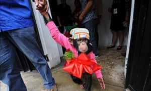 Chimpanzee before his wedding at a zoo in Hefei in China