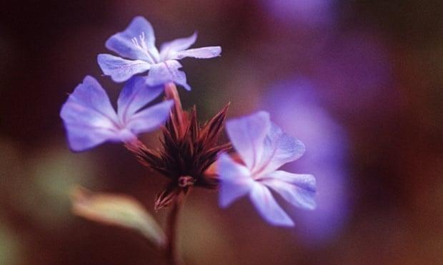Moody blues: Ceratostigma plumbaginoides.