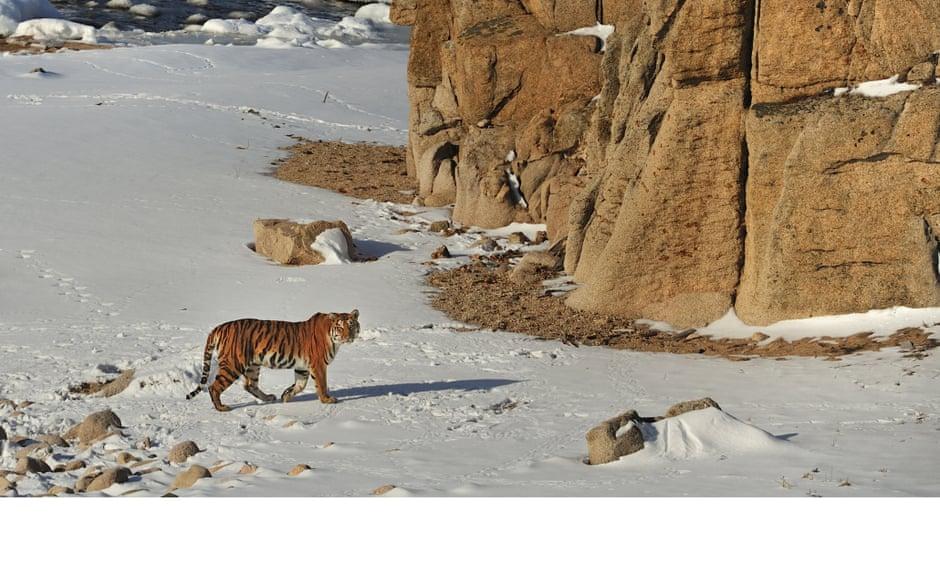 Toshiji Fukada's photograph of an Amur tiger.