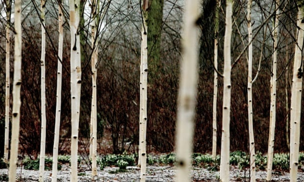 Betula utilis var jacquemontii  'Doorenbos' at the National Trust's Dunham Massey in Cheshire