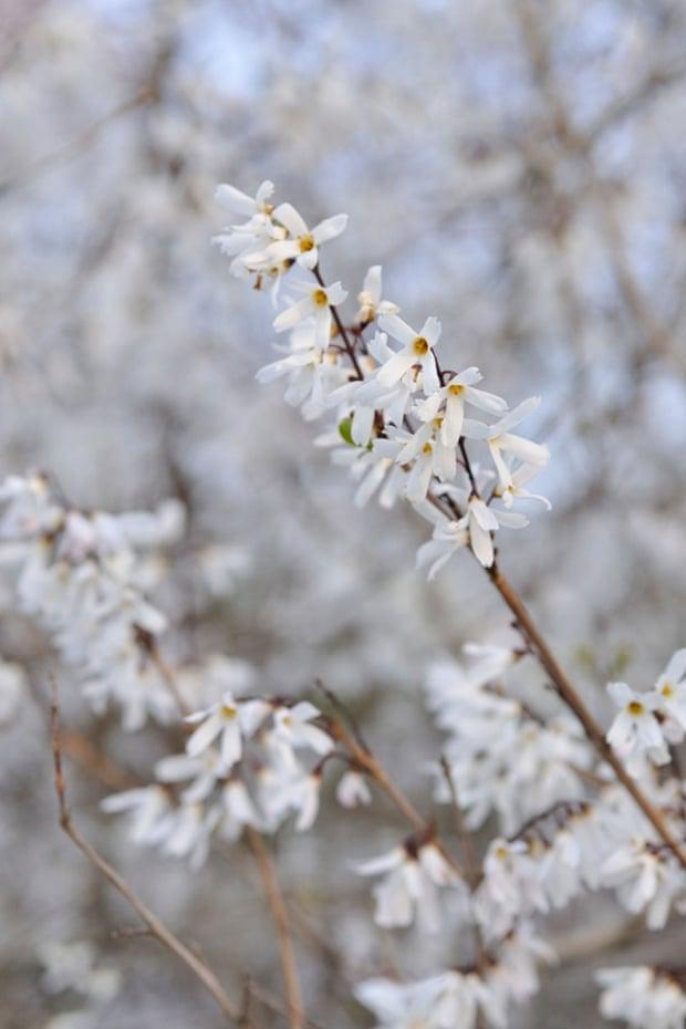 White forsythia (Abeliophyllum distichum)