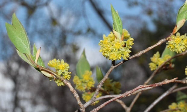 Lindera triloba in flower