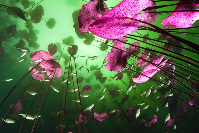 2014 WPY Plants and Fungi category winner Glimpse of the underworld Christian Vizl  Mexico Water lilies stretch up to the light through a layer of green mist in the Aktun Ha cenote     a huge sinkhole in Mexico   s Yucat  n Peninsula.