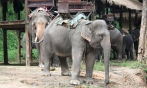 An Asian elephant chained up.