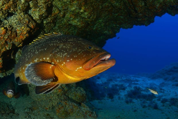 Dusky grouper (Epinephelus marginatus) in a cave. Punta Miradero, El Hierro, Canary Islands, Spain. Ranger Expedition to the Atlantic Seamounts. September 2014.