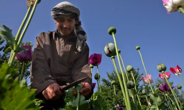 Opium sap being harvested from poppies in Badakhshan, Afghanistan.