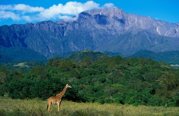 A giraffe on the foothills of Mount Meru, Arusha national park.