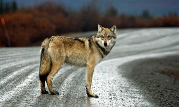 A gray wolf in Alaska.