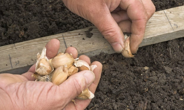 Clove story: planting garlic in the vegetable garden.