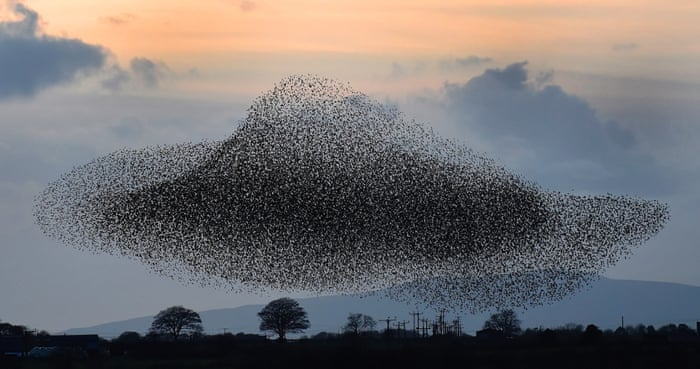 Murmuration of starlings in Gretna Green