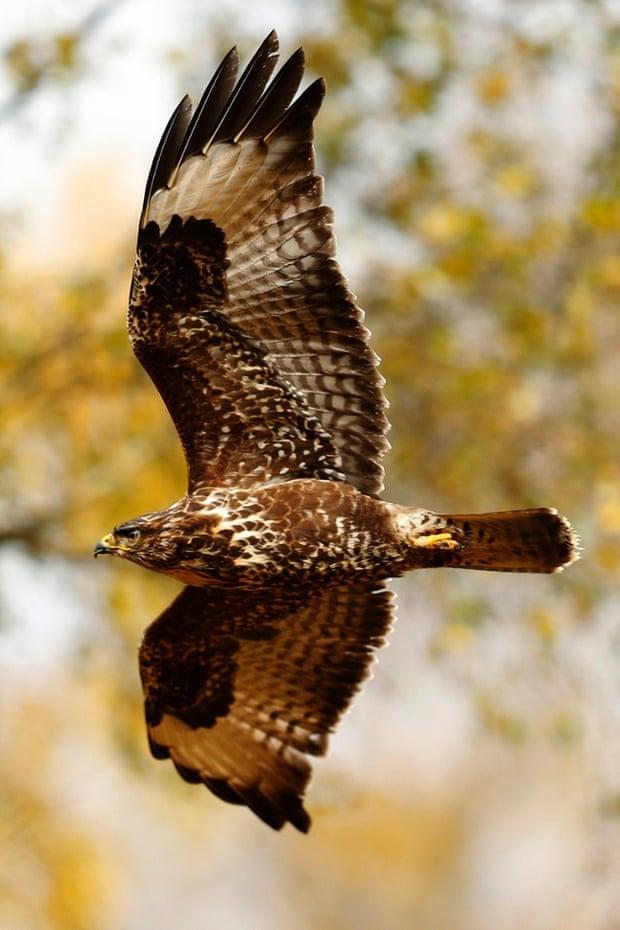 Another buzzard … this time in Glen Lyon, Scotland.