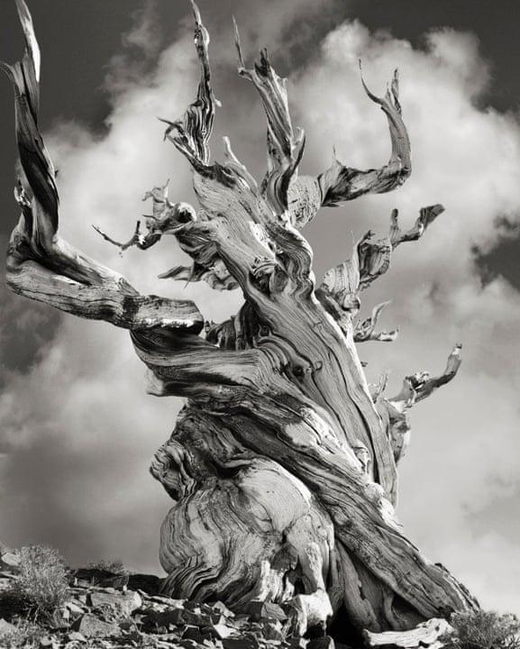 Bristlecone Pine, USA, 2005.
