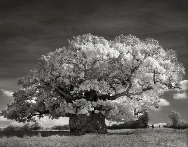 Bowthorpe Oak, England, 2002).