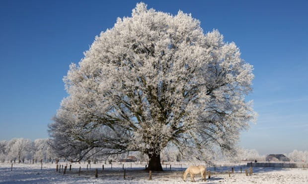 A horse grazing next to a frosted horse chestnut tree in the snow