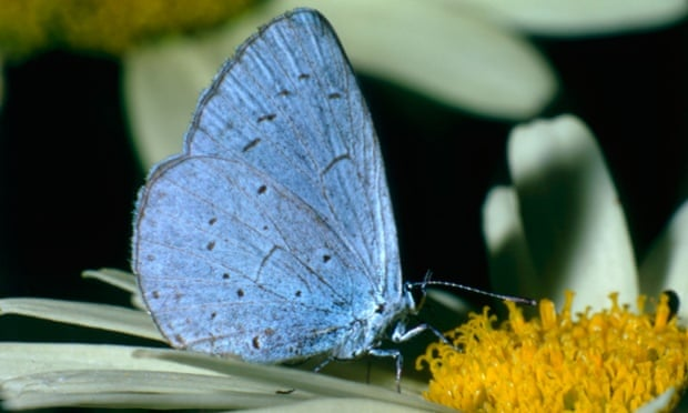 Holly blue butterfly (Lycaenopsis argiolus)