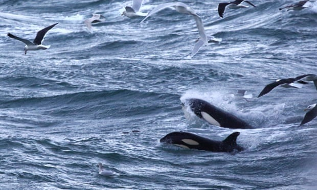 The orcas gorge themselves on herring shoals, accompanied by sea birds.