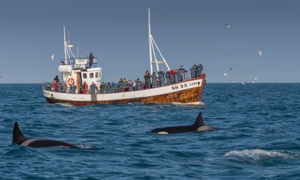 Local fishermen have started taking visitors out to view the orca pod
