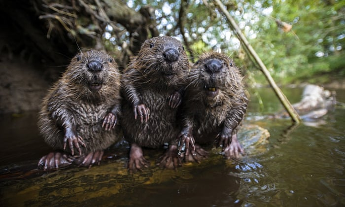 A family of wild beavers on the Rosenheim near Munich, Germany