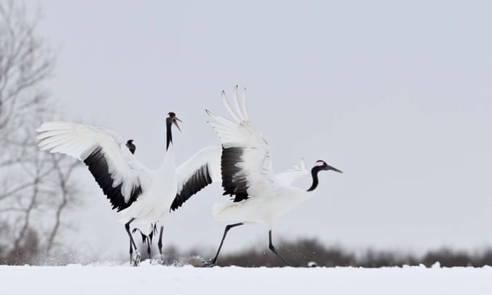 Red-crowned cranes take a rest in Tsurui, Japan