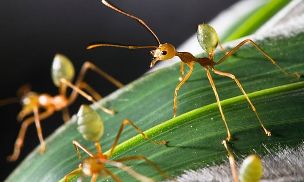 Green tree ants: Australia's indigenous people know all about their properties as a hangover cure, and their nutritional benefits