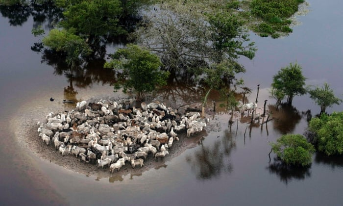 Stranded cattle in the flooded region of Ballivian province, Bolivia