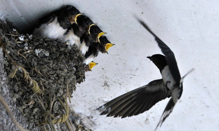 A swallow feeds her babies in their nest under the ceiling of a residential house in Dongfeng township of Guiyang, Guizhou province, China
