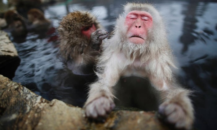 Japanese Macaques (or Snow Monkeys) groom each other in a hot spring at a snow-covered valley in Yamanouchi town, central Japan